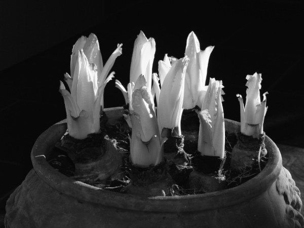 Chicoree-Zapfen im Topf