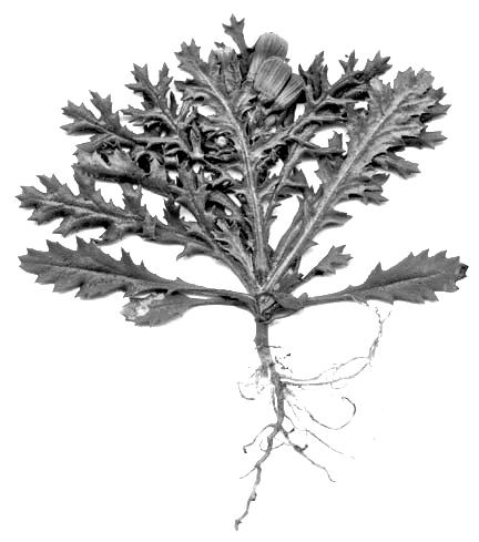 jakobskreuzkraut-ganzpflanze