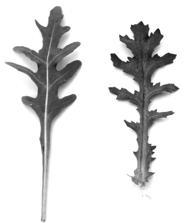 Rucola-Jakobskreuzkraut
